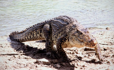 Cuban crocodile (Rhombifer)